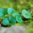 岩の苔と青葉